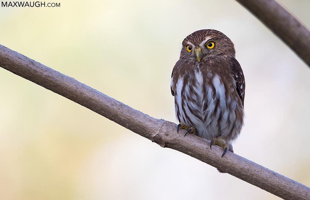 Ridgway's Pygmy Owl