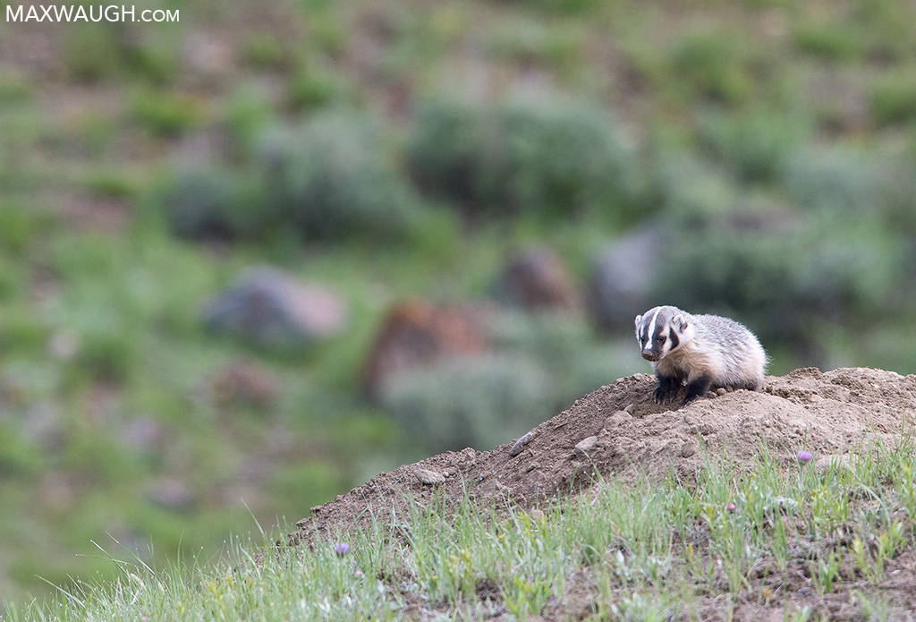 American badger kit