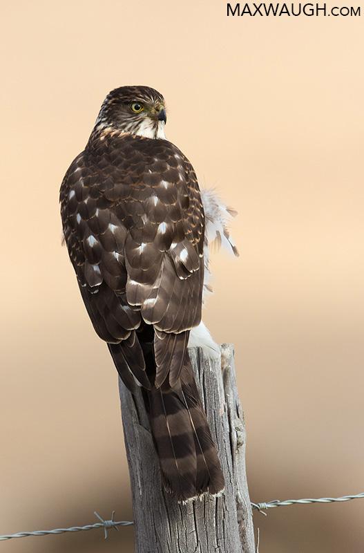 Chilean Hawk