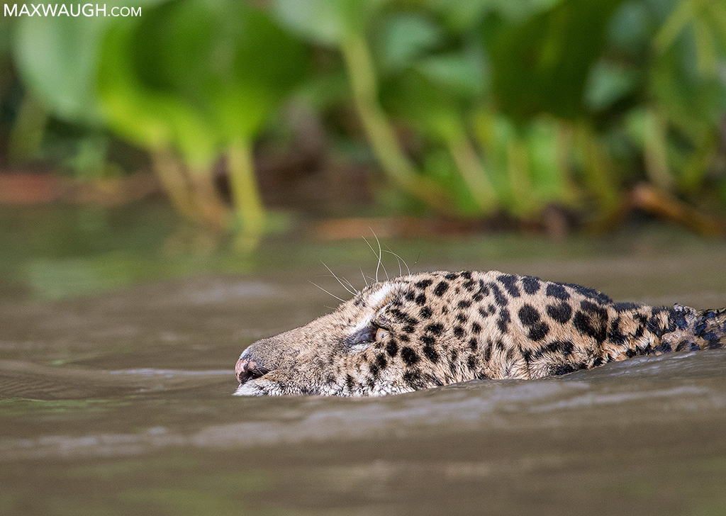 Swimming Jaguar