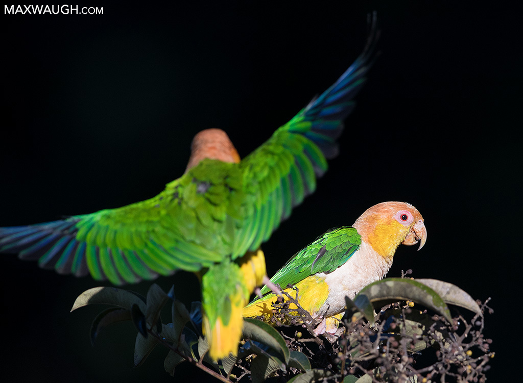 Black-Legged Parrots