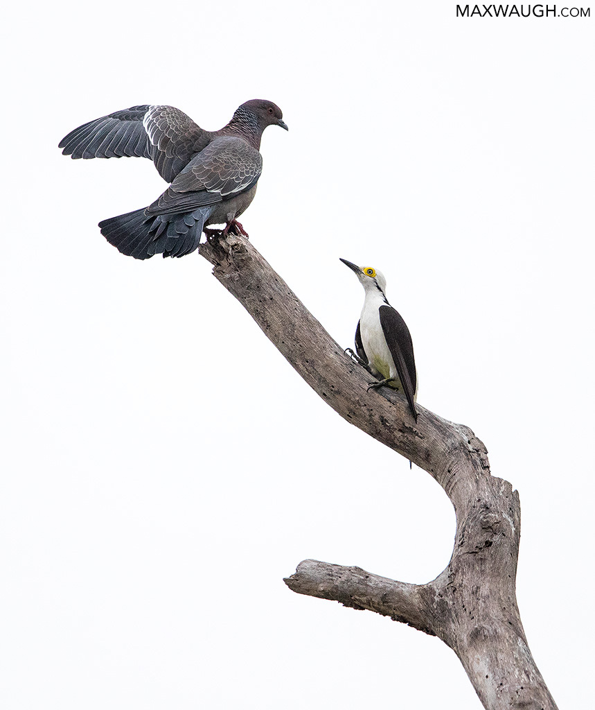 White Woodpecker and Picazuro Pigeon