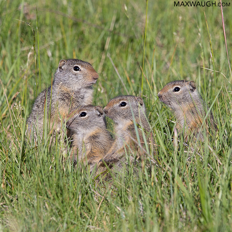 Uinta ground squirrels