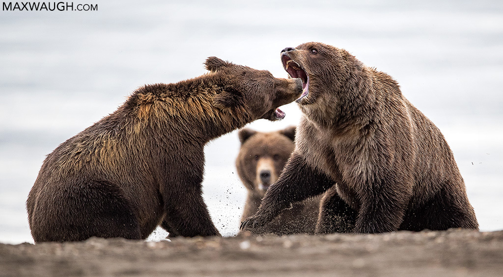Alaska Peninsula Brown Bears