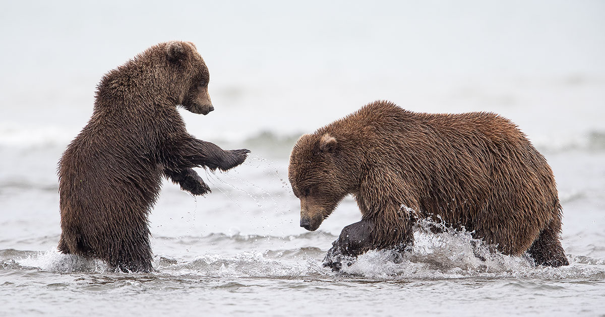 Alaska Brown Bears Photo Tour