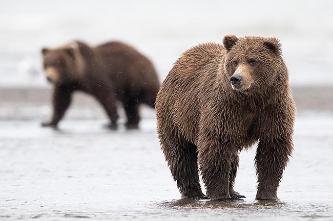 Alaska Peninsula Brown Bears