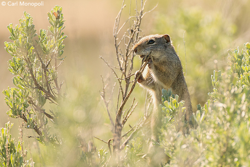 Uinta ground squirrel by Carl Monopoli