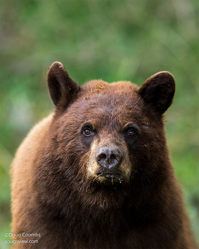 Cinnamon black bear by Doug Coombs