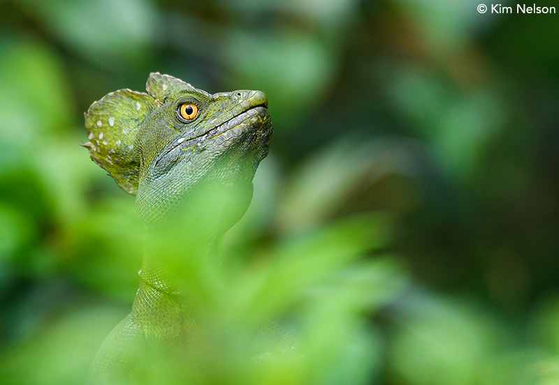 Green basilisk by Kim Nelson