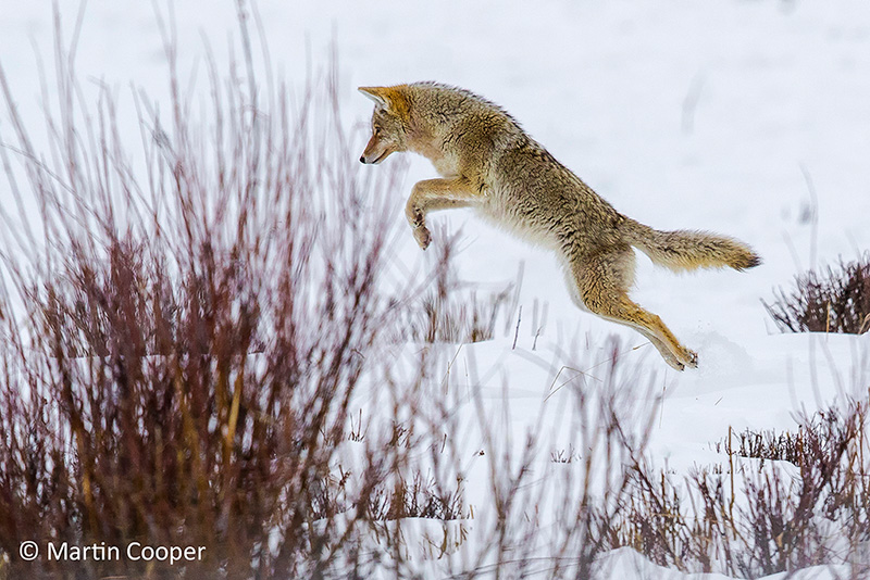 Coyote by Martin Cooper