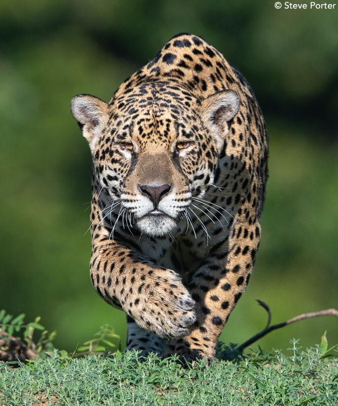 Jaguar by Steve Porter