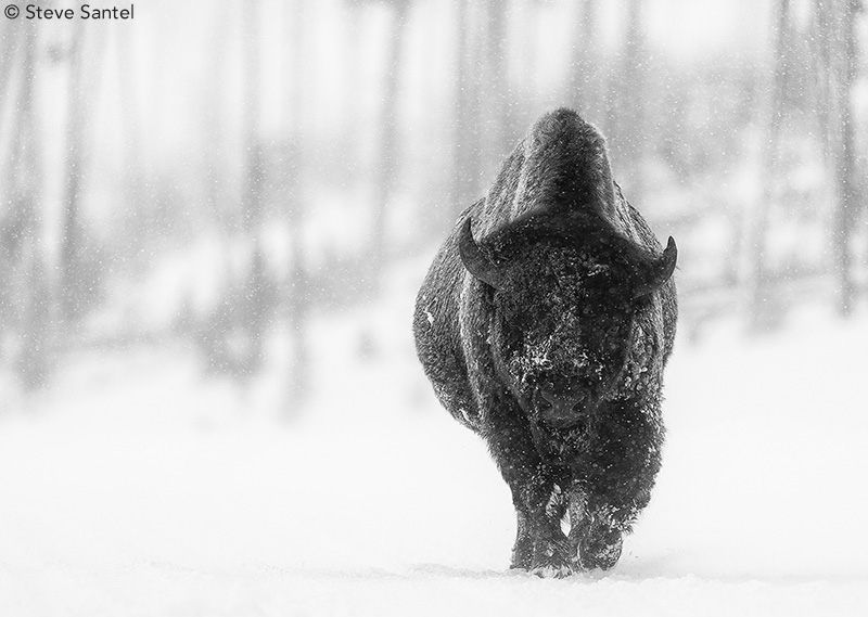Bison by Steve Santel