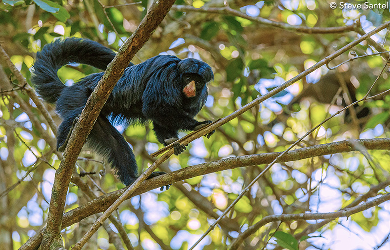 White-nosed saki monkey by Steve Santel