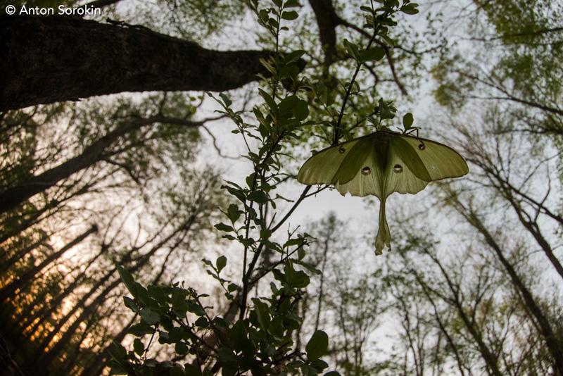 Luna Moth by Anton Sorokin