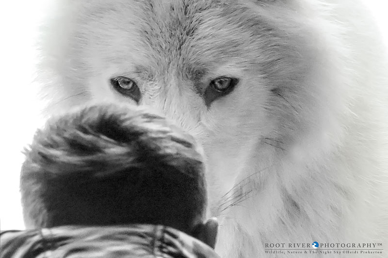 Wolf and child by Heidi Pinkerton