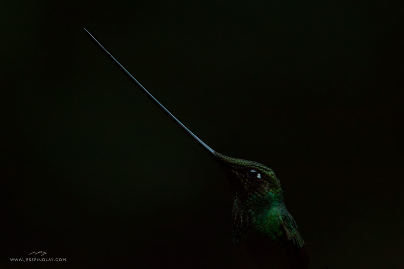 Sword-billed hummingbird by Jess Findlay