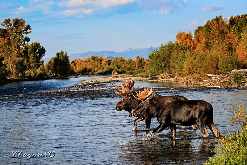 Moose by Jim Chagares