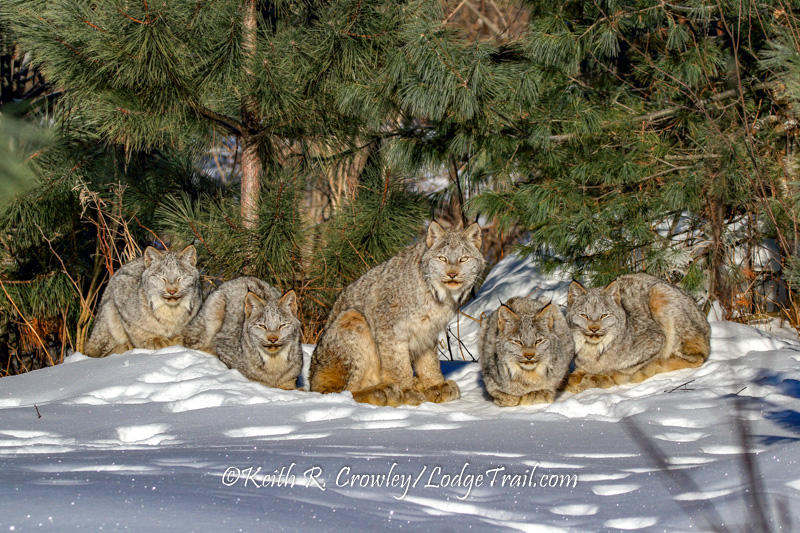Lynx family by Keith Crowley