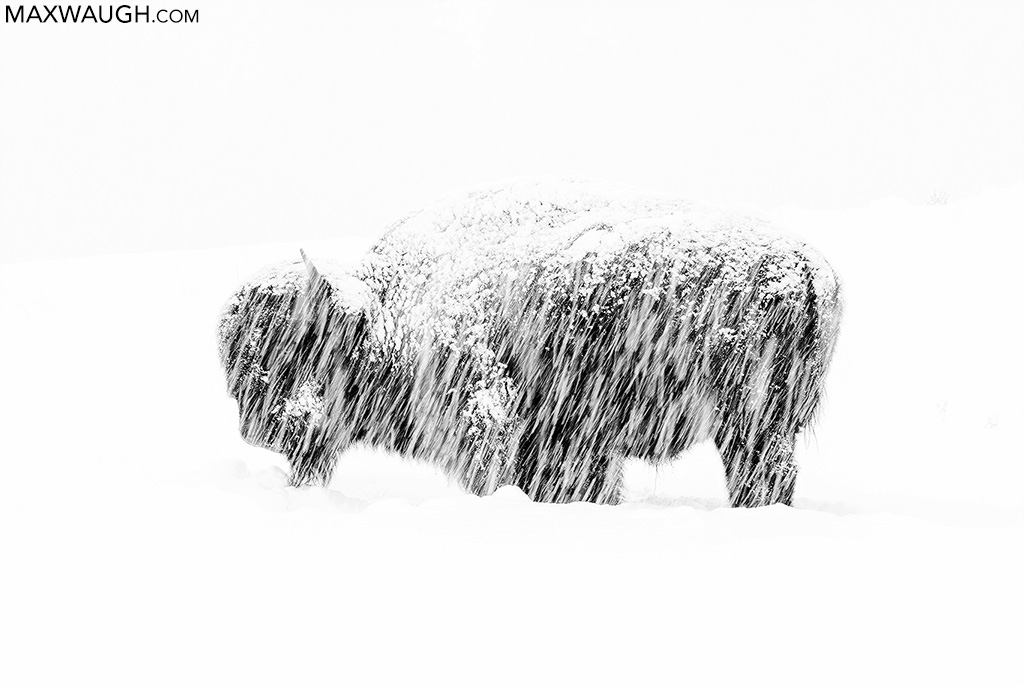 American bison in snowstorm