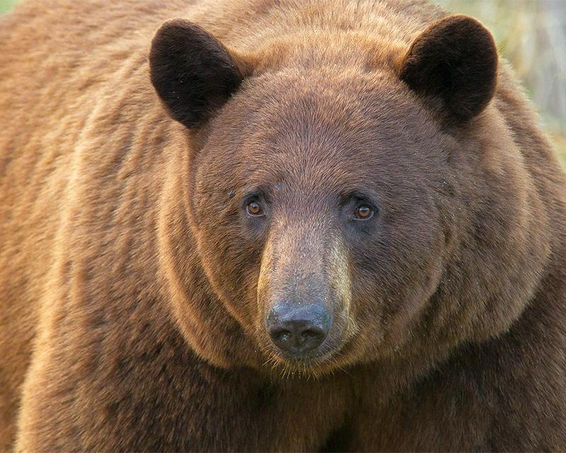Cinnamon black bear by Doug Dance