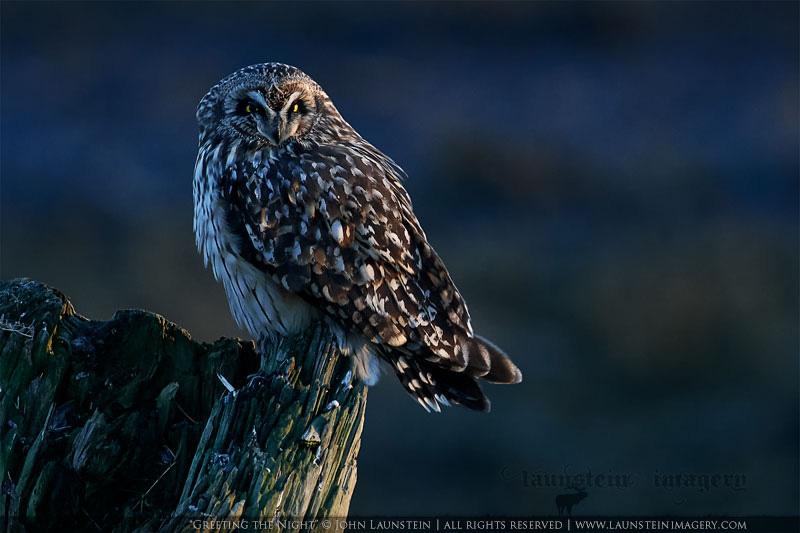 Short-eared owl by John Launstein