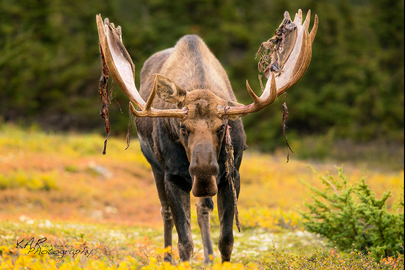 Bull moose by Kate and Adam Rice