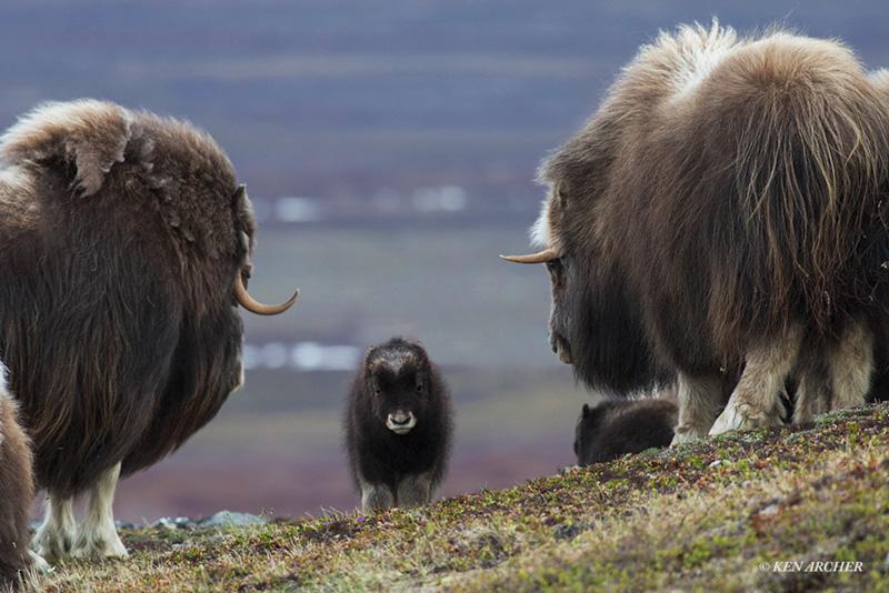Musk oxen by Ken Archer
