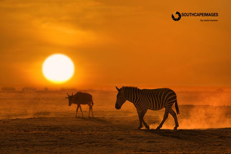 Zebra and wildebeest by Mario Moreno