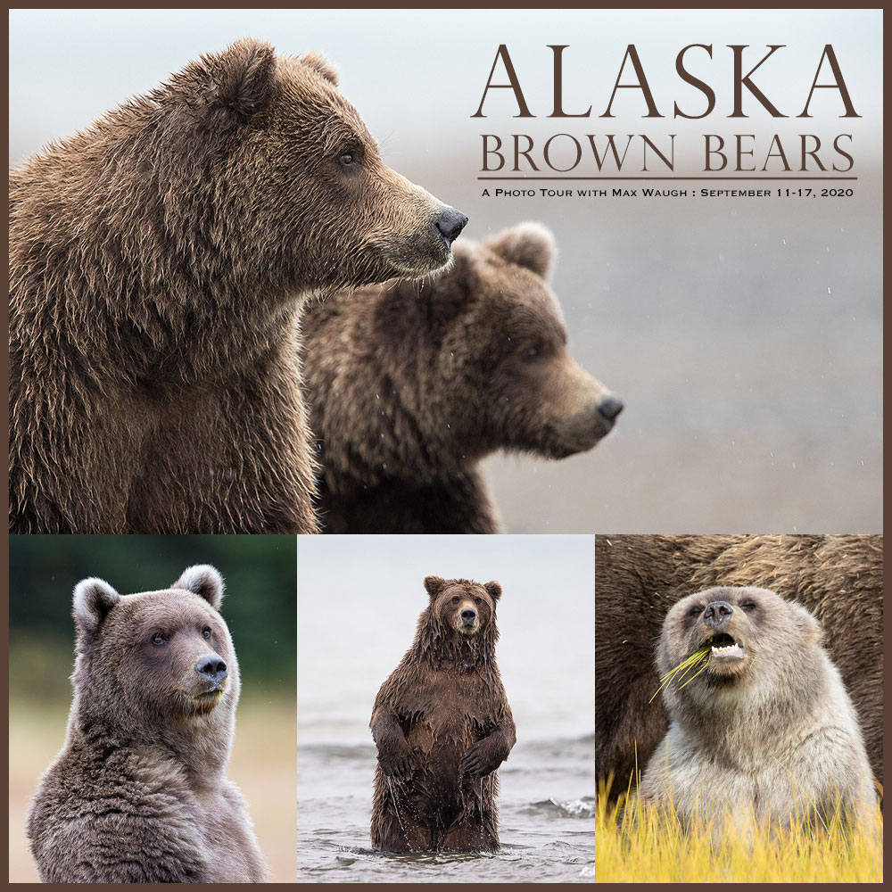 Alaska Brown Bears photo tour