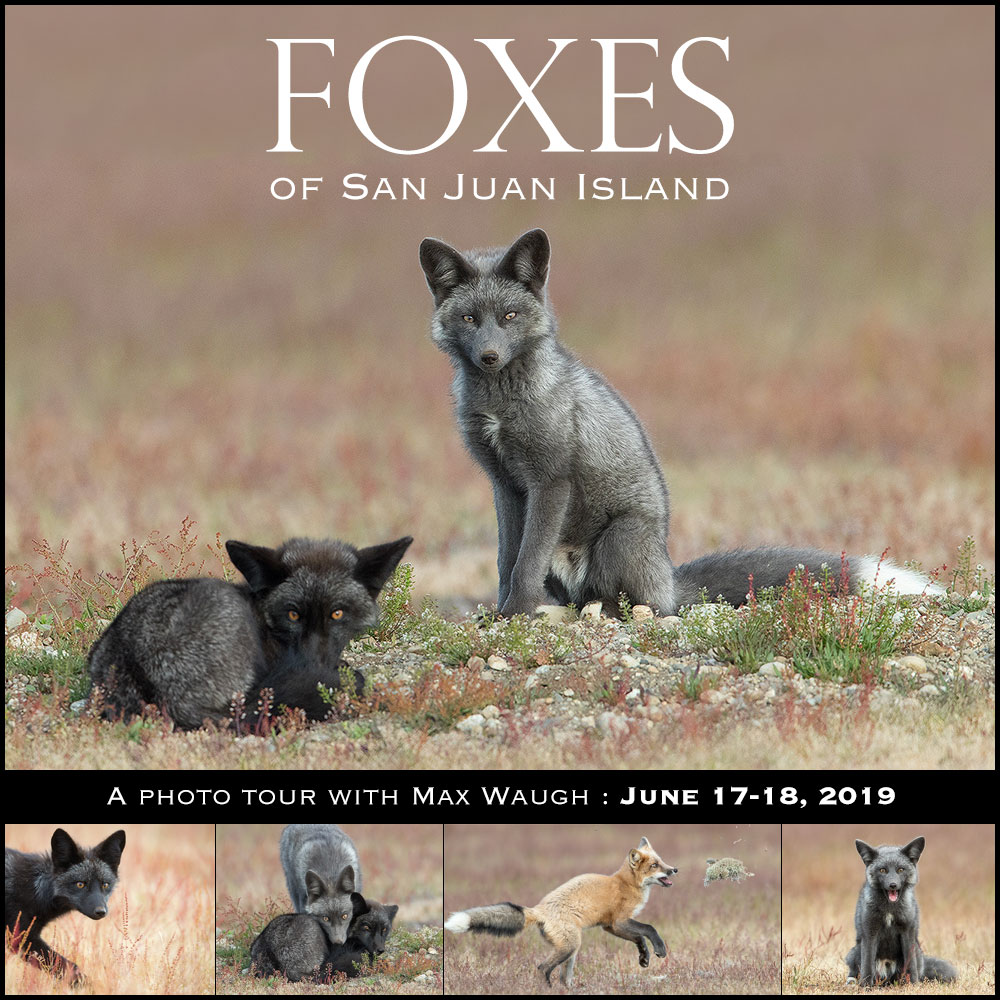 San Juan Island Fox Photo Tour