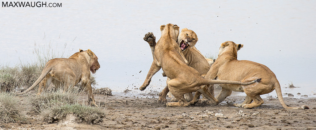 African Lion Fight