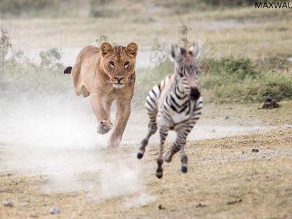 Zebra Foal Escapes Lions