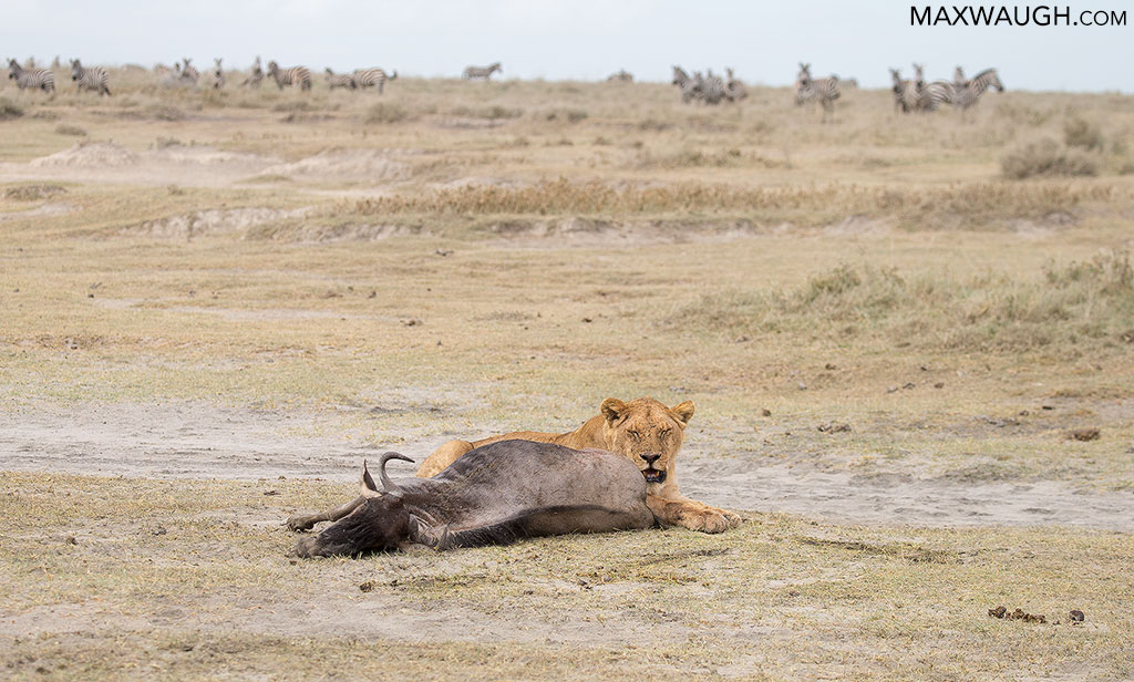 Lion with wildebeest carcass
