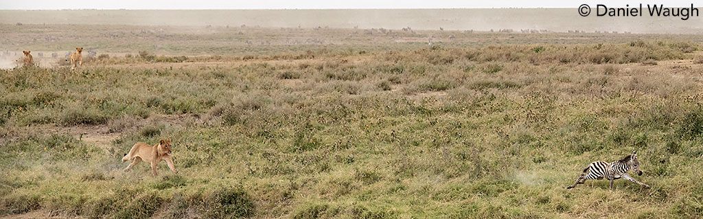 Lions hunting zebra