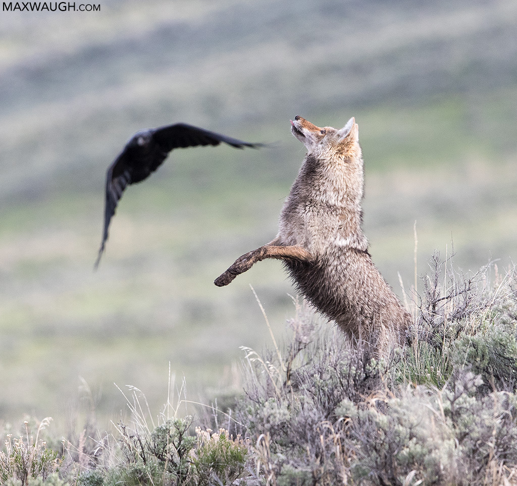 Coyote leaping at ravens