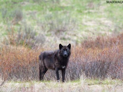 Yellowstone Spring 2019 Trip Report: Days 3-5
