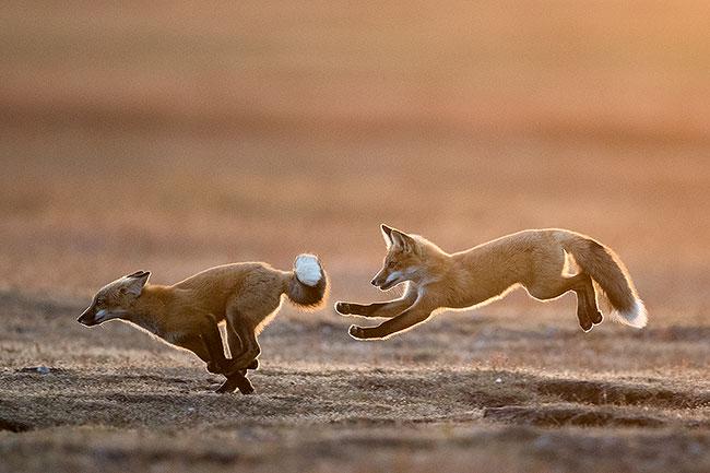 San Juan Islands Foxes