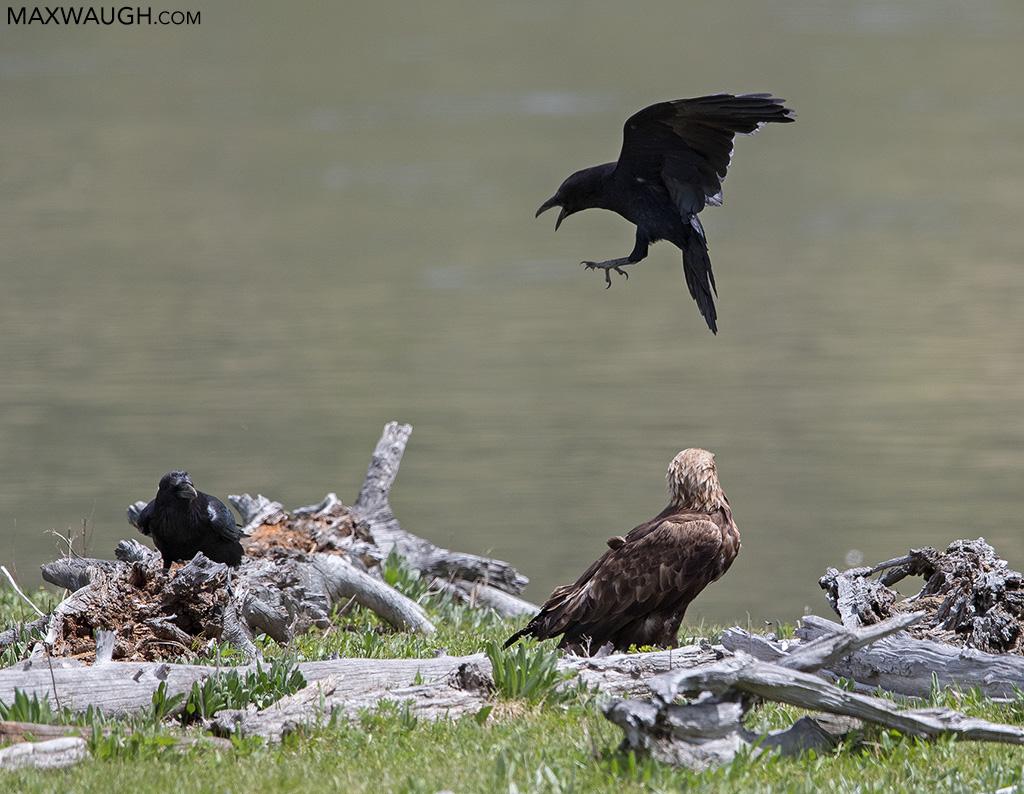 Ravens harassing golden eagle
