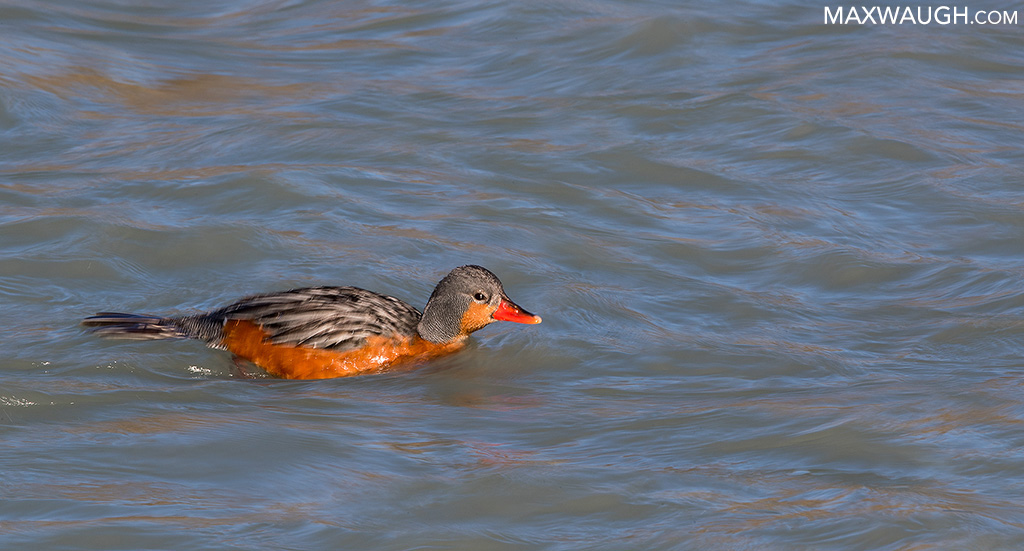 Female Torrent Duck