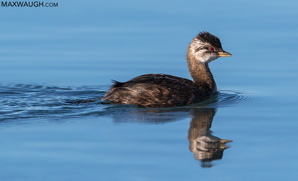 White-Tufted Grebe