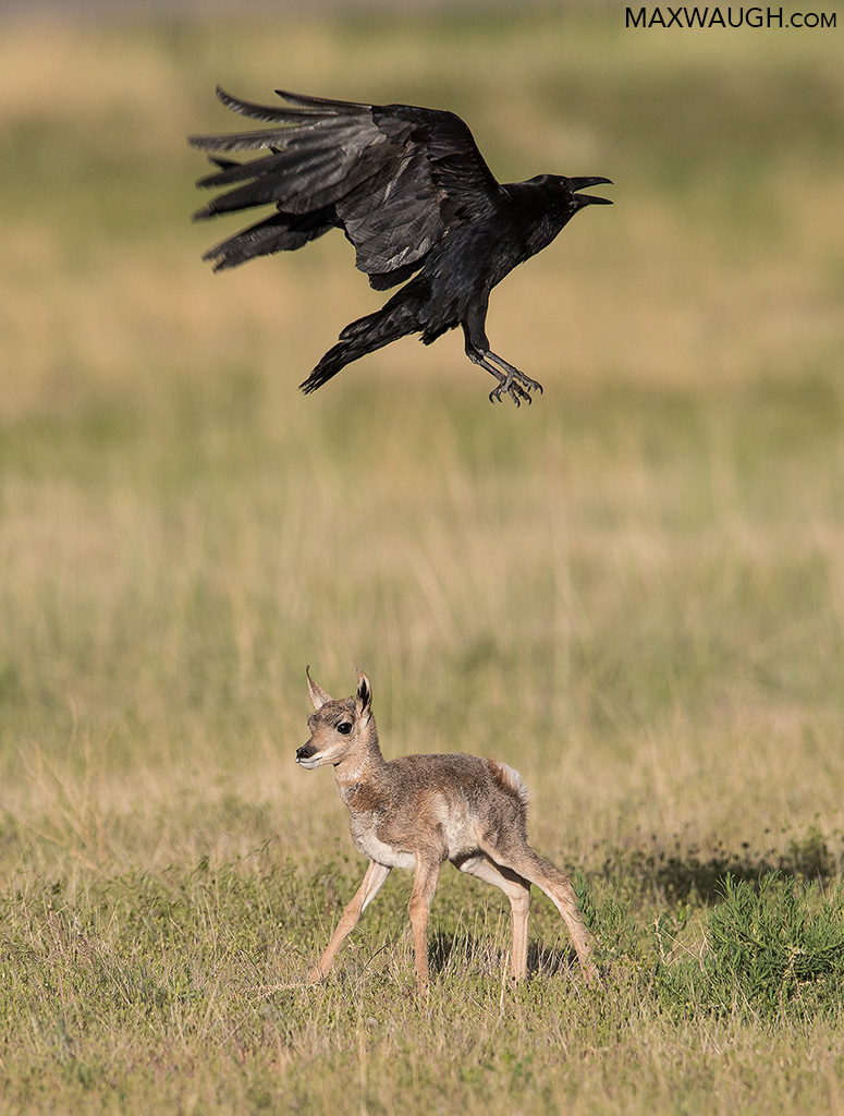 Pronghorn Fawn and Raven