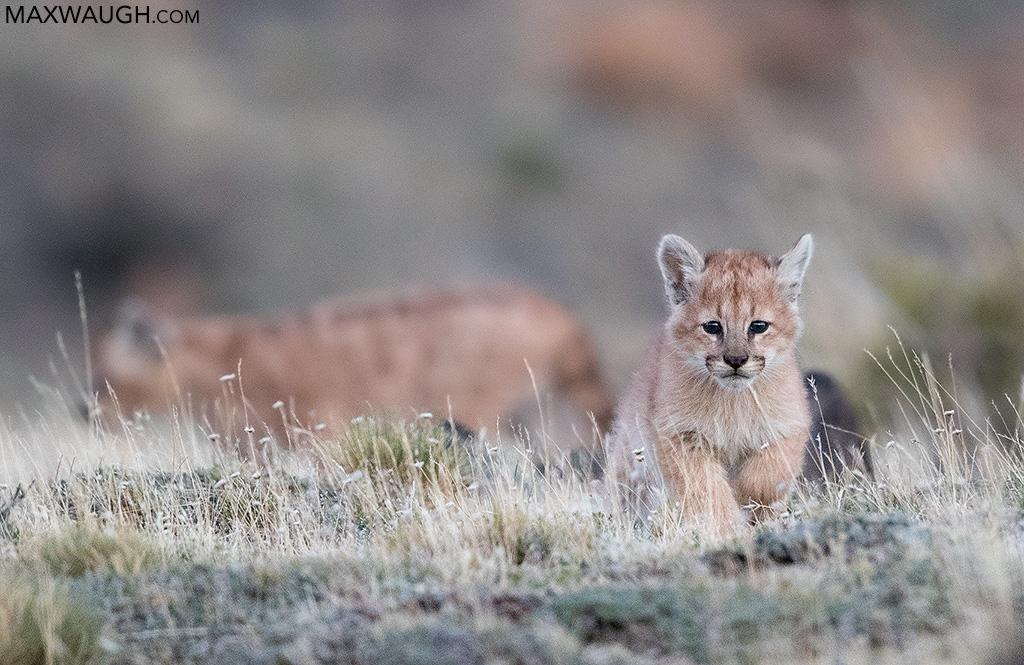 Puma cubs