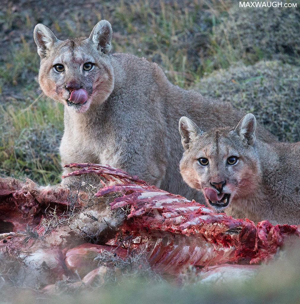 Juvenile Pumas