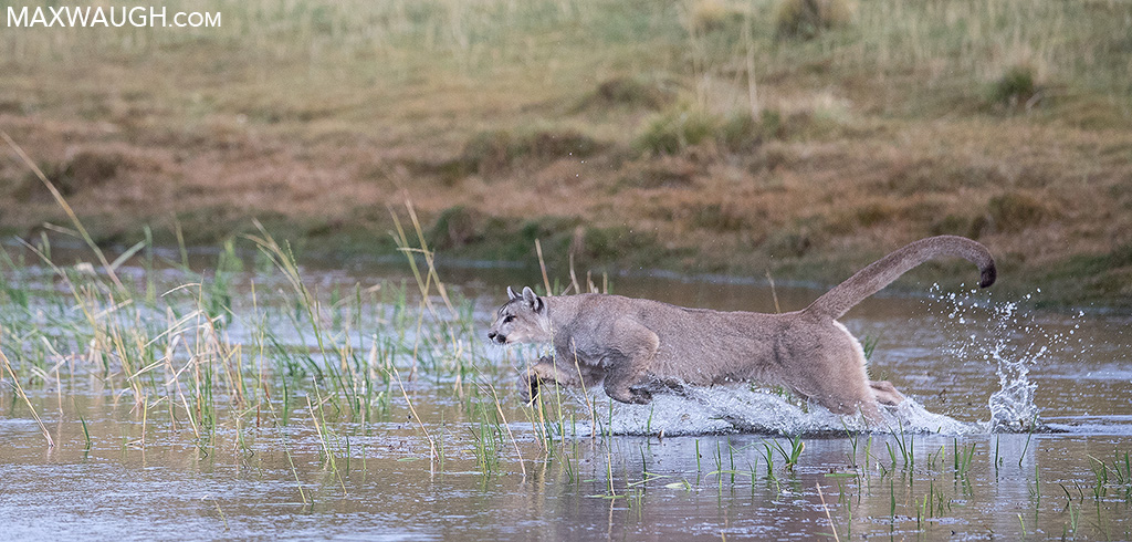 Hunting Puma