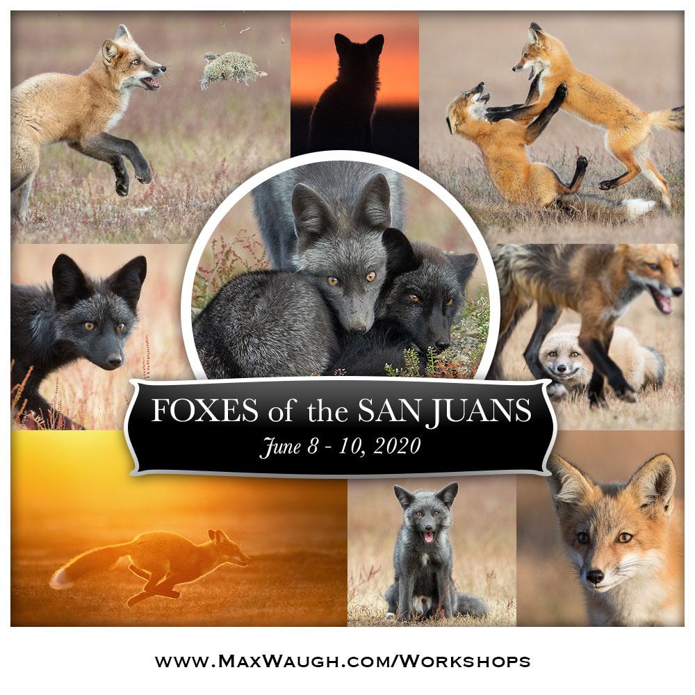 2020 San Juans Islands Fox Photo Tour