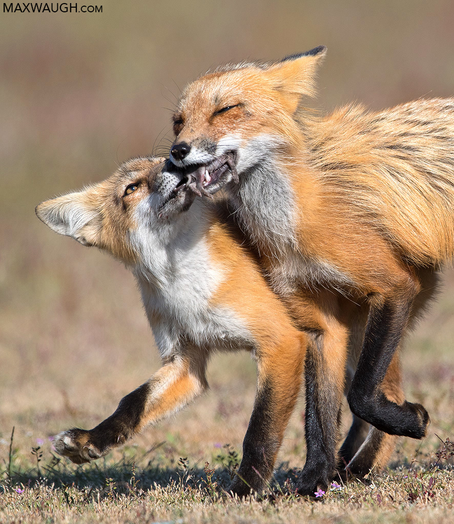 Red Fox with Kit