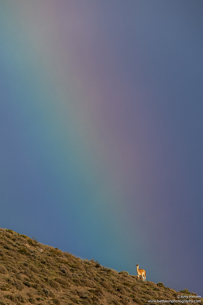 Guanaco and rainbow by Amy Heinen