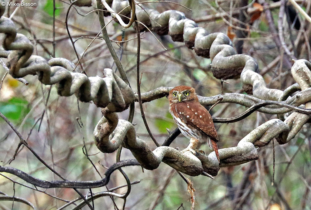 Ridgway's Pygmy-Owl by Mike Bisson