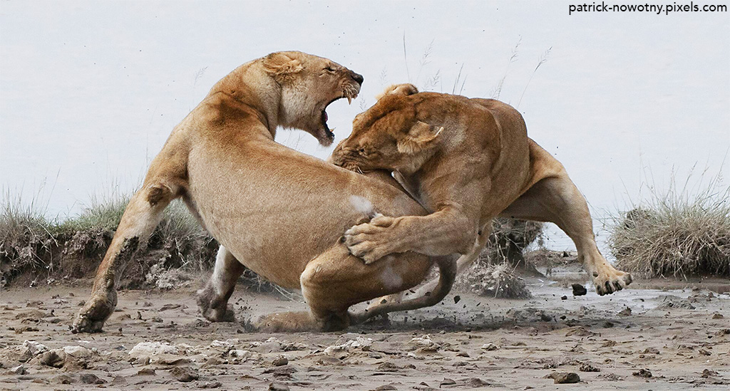 Lion fight by Pat Nowotny