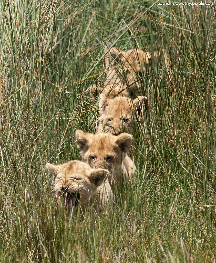 Lion cubs by Pat Nowotny